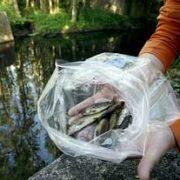 En la foto, tomada el jueves, varios ejemplares de truchas que murieron en el río Xuvia, en San Sadurniño